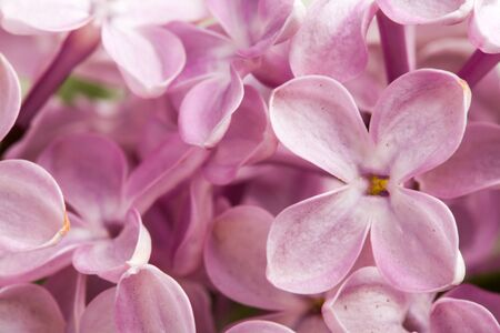 Beautiful spring delicacy lilac flowers. Stock Photo