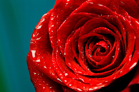 fresh red rose bud, the petals of red roses