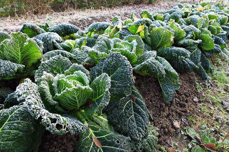 Savoy cabbage in the winter garden  photo