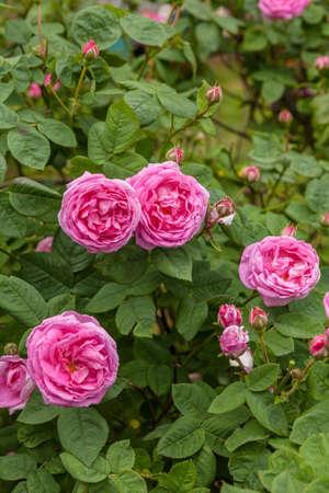 Rosa centifolia Stock Photo