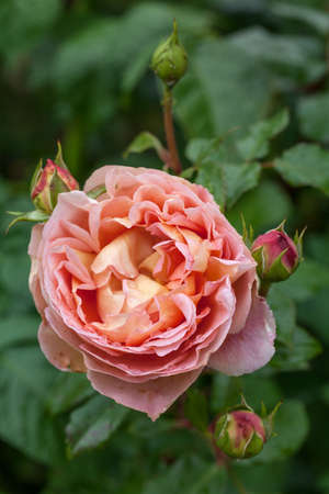 english rose: English rose  Abraham Darby  in the summer garden  Stock Photo