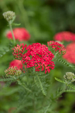 Red Yarrow  Achillea  blossoms in the summer garden  photo