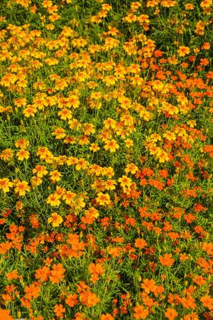 patula: The french marigold  Tagetes patula