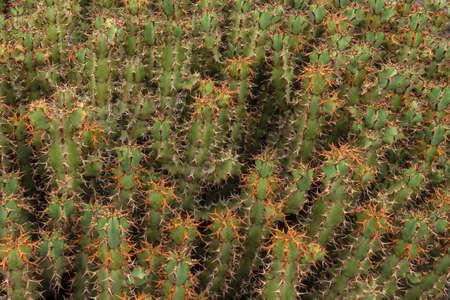 manrique: Cactus in Cactus Garden. Guatiza, Lanzarote, Canary Islands, Spain.