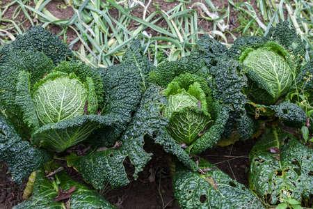 savoy cabbage: Image of Savoy cabbage in organic autumn garden.
