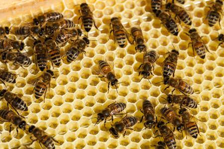 hardworking: Hardworking bees on honeycomb.
