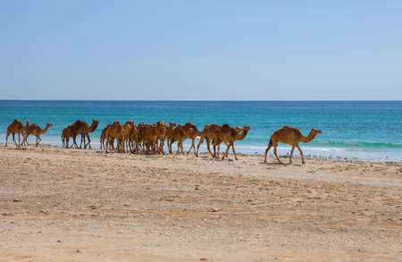 oman background: Camels on a beach in Oman Stock Photo