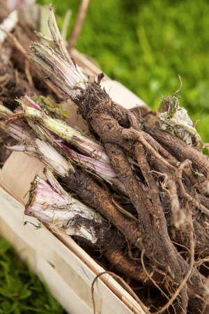 Roots of burdock (arctium tomentosum)