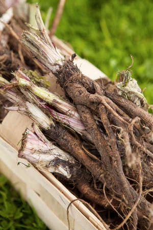 burdock: Roots of burdock (arctium tomentosum)