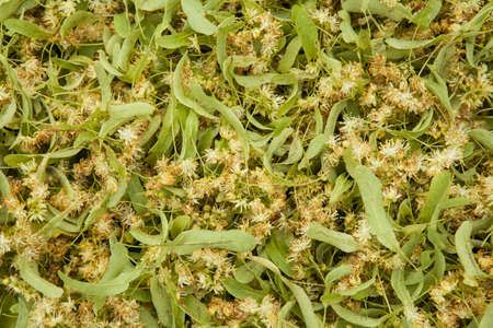 tilia: Tilia flowers