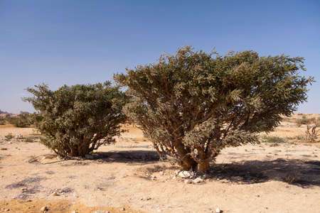 Boswellia tree - frankincense, olibanum-tree, in Dhofar, Oman. Stock Photo