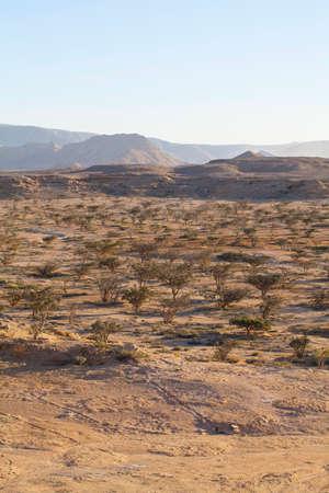 frankincense: Boswellia tree - frankincense, olibanum-tree, in Dhofar, Oman. Stock Photo