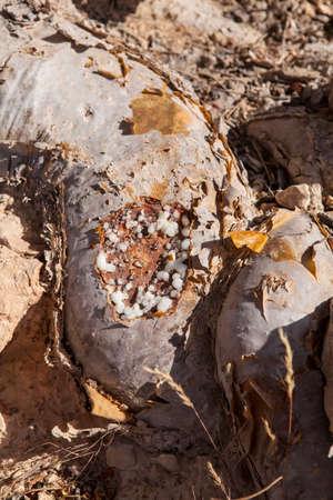 Resin of frankincense tree in Oman