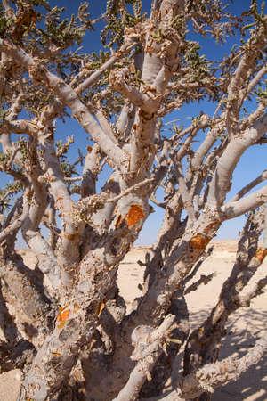 Boswellia boom - wierook, Olibanum-boom, in Dhofar, Oman. Stockfoto
