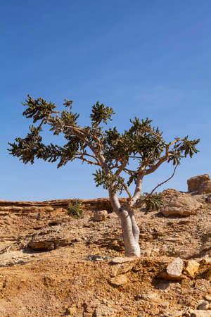 Oman: Boswellia tree - frankincense, olibanum-tree, in Dhofar, Oman. Stock Photo