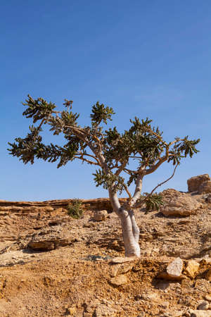 Boswellia tree - frankincense, olibanum-tree, in Dhofar, Oman. 版權商用圖片