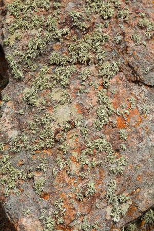 mosses: Mosses and lichens. Berlenga islands, Portugal