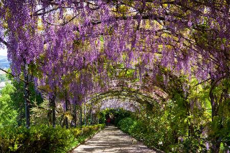 Blooming wisteria tunnels of Bardini gardens(Giardini Bardini) in Florence, Italy