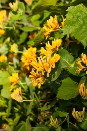 Lonicera periclymenum, common names honeysuckle, common honeysuckle, European honeysuckle or woodbine