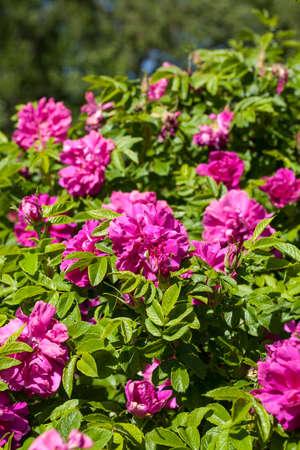 rosa: Rosa Darts Deffender in a spring garden Stock Photo