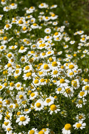 matricaria recutita: Image of medical chamomile (Matricaria recutita) blossoms in a summer herbs garden Stock Photo