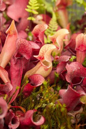 Pitcher plants (Sarraceniaceae) Stock Photo