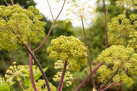 Angelica Archangelica - the plant used in culinary, Angelica oil in aromatherapy, pot - pouri