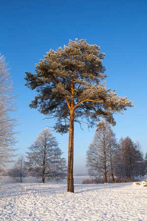 pinus sylvestris: Scots pine (Pinus sylvestris L.) in winter time. Trakai, Lithuania. Stock Photo