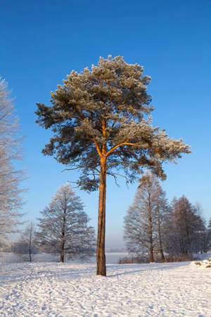 Scots pine (Pinus sylvestris L.) in winter time. Trakai, Lithuania. Imagens
