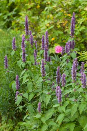 Image of giant Anise hyssop (Agastache foeniculum) in a summer garden Stock Photo