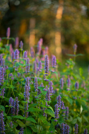 hyssop: Image of giant Anise hyssop (Agastache foeniculum) in a summer garden Stock Photo
