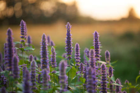 Image of giant Anise hyssop (Agastache foeniculum) in a summer garden 스톡 콘텐츠