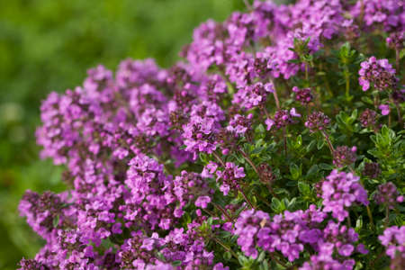 thymus: Thyme (Thymus vulgaris) blossoming in the garden of herbs.