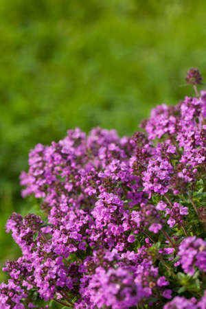 creeping plant: Thyme (Thymus vulgaris) blossoming in the garden of herbs