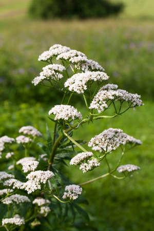 Valeriana Officinalis 또는 발레 리아 누스 (Valeriana) 식물의 꽃은 여름에 허브 정원에서 약초에 불면증을 치료하는 데 사용됩니다.