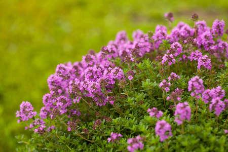 Thyme(Thymus vulgaris) plant growing in the herb garden