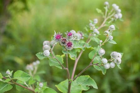 꽃이 만발한 우엉 (Arctium lappa)