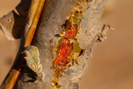 Boswellia sacra tree - frankincense resin Stock Photo