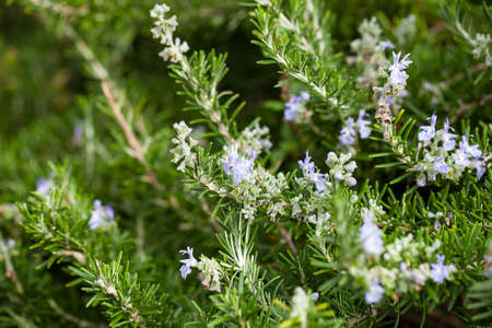 Rosemary ( Rosmarinus Officinalis) plant in a Blanes Botanic Garden Imagens - 70338862