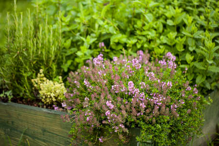 Thyme Thymus vulgaris plant growing in the herb garden Imagens