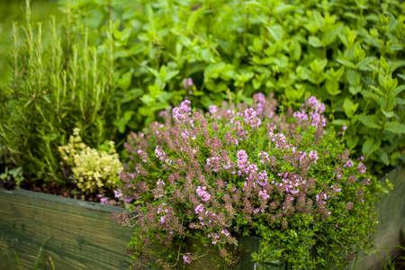Tijm Thymus vulgaris plant groeit in de kruidentuin Stockfoto