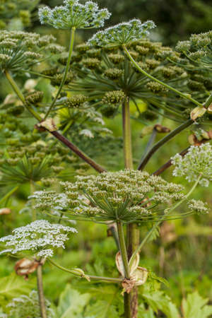 Heracleum Sosnowskyi or Sosnowskys Hogweed, is a flowering plant. All parts of plant contain the intense toxic allergen furanocoumarin