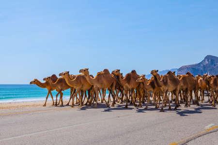 Kamele, welche die Straße nahe Salalah, Oman kreuzen. Standard-Bild - 87328035