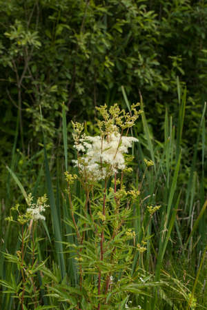 Filipendula ulmaria, commonly known as meadowsweet or mead wort. This plant contains salicylic acid (the basis of aspirin). Stock Photo