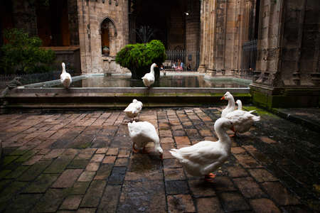 Barcelona, Spain -October 17, 2016: In the cloister of the cathedral, 13 geese are guarding the tomb of Saint Eulalia, martyred by the Romans. 에디토리얼