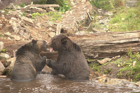 animosity: Sparring Grizzly Bears