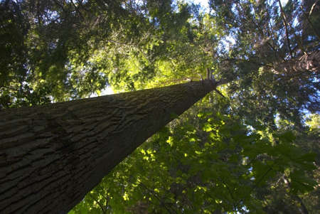 An old growth tree thrives in a forest. Stock Photo