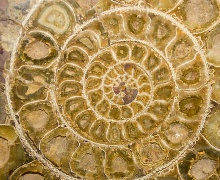 Ammonite Fossil Cross Section Stock Photo - 13306426