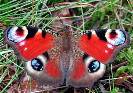 io: European Peacock butterfly (Inachis io)  Stock Photo