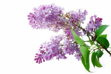 Lilac. Stock Photo